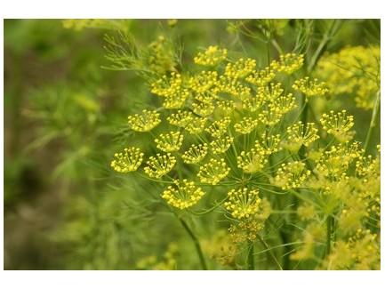 Aneth plant