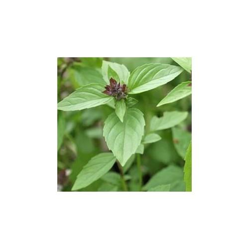 Basilic anis plant