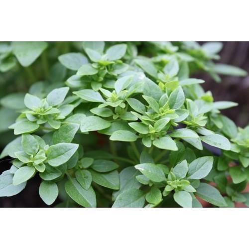 Basilic petites feuilles plant