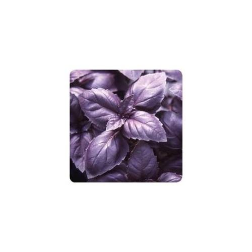 Basilic pourpre plant
