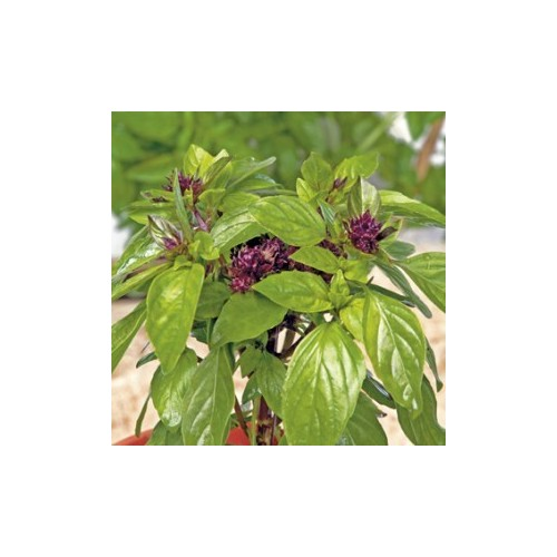 Basilic thaï plant