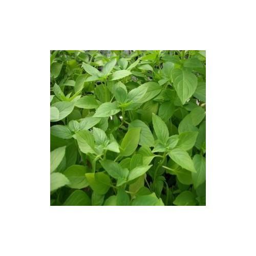 Basilic citron plant