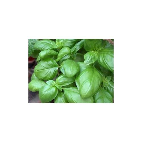 Basilic pistou plant