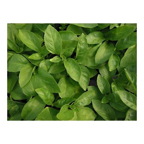 Basilic marseillais plant