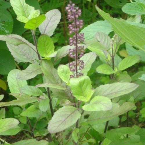 Basilic sacré plant