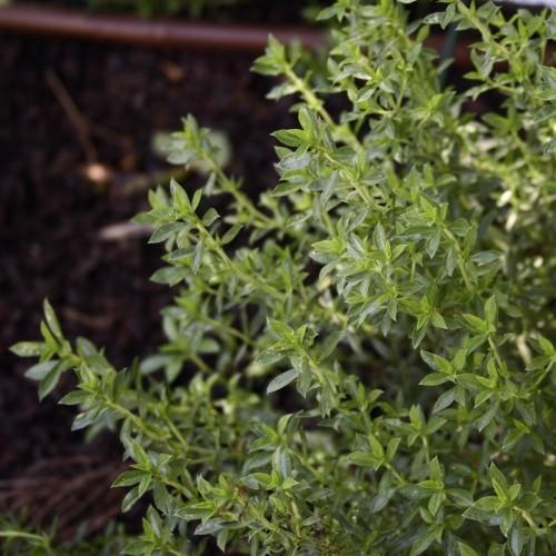 Sariette plant