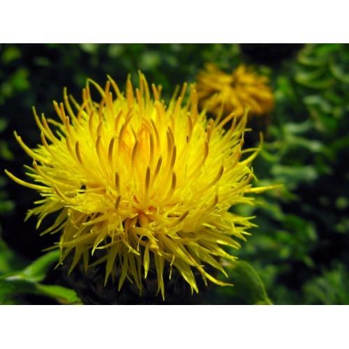 Chardon béni plant