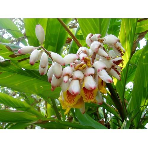 A-tous-maux ou Atoumo plant