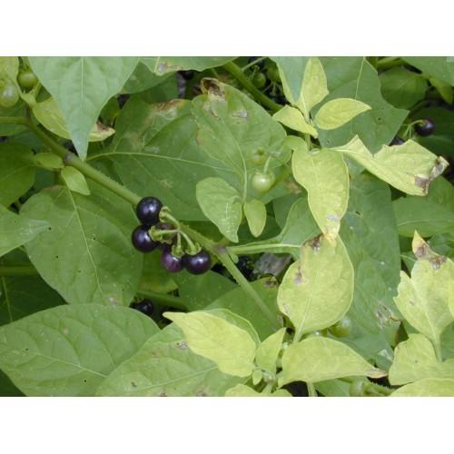 Herbe amère plant