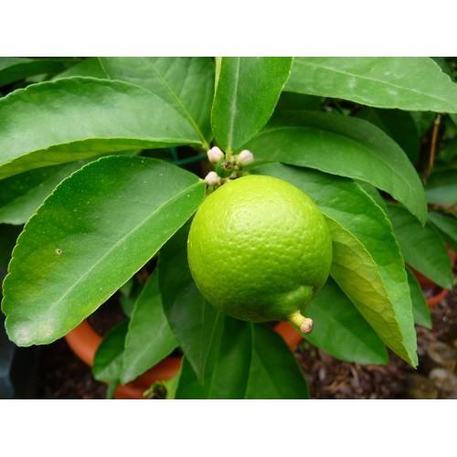 Citronnier punch local plant