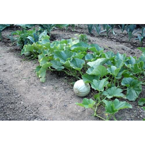 Melon charentais 3 plants