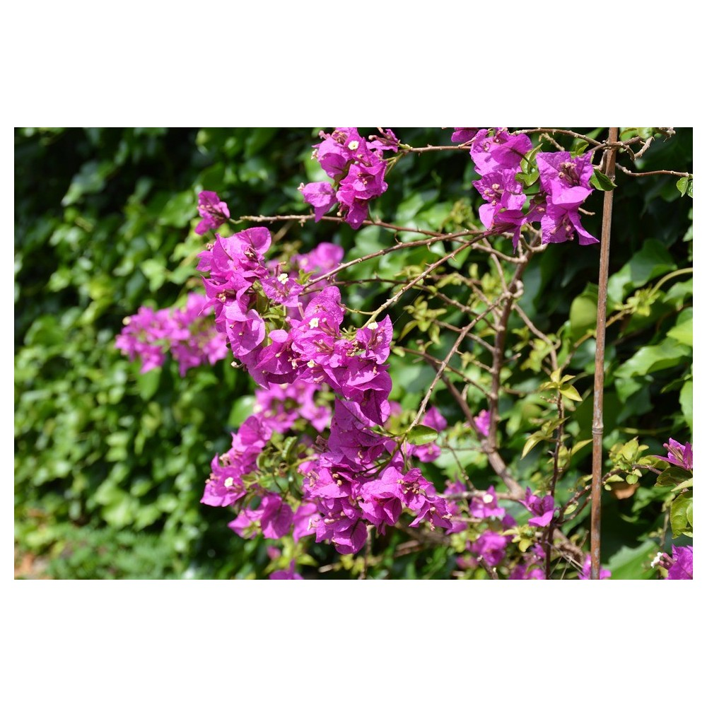 Bougainvillier plant
