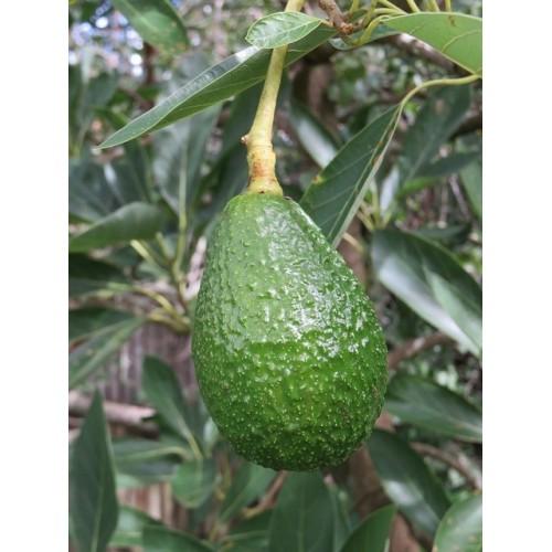 Avocatier plant