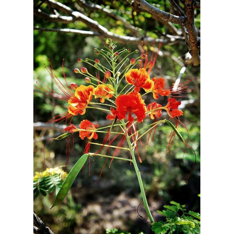 Petit flamboyant orange plant