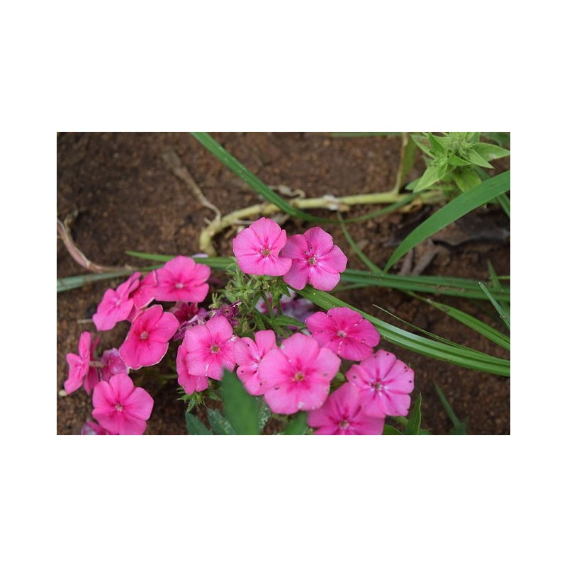 Phlox drummondii plant