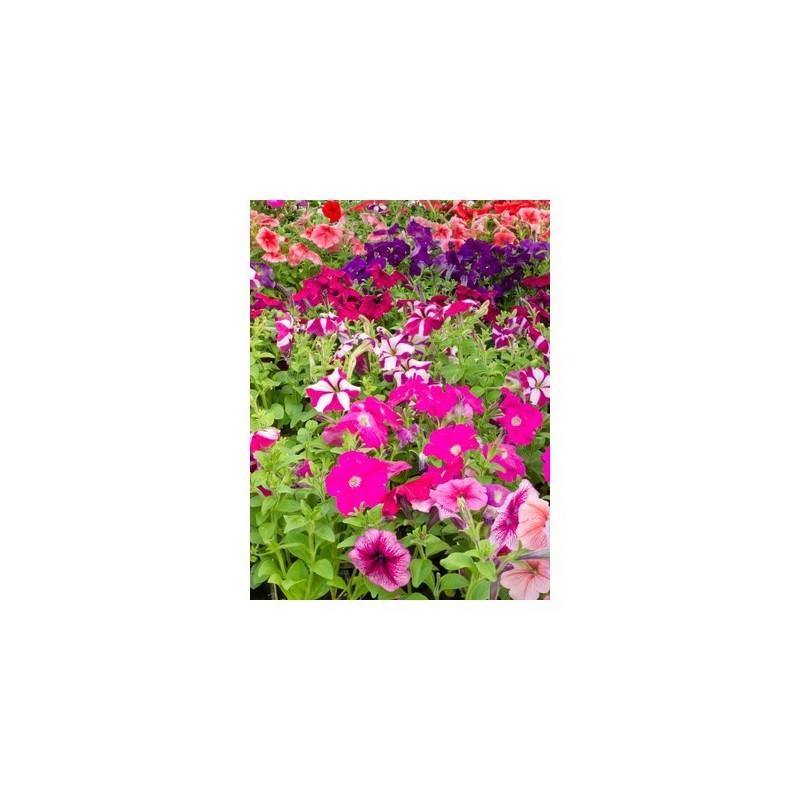 Pétunia plant