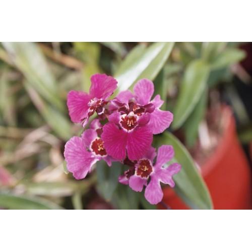 Oncidium tolumnia plant
