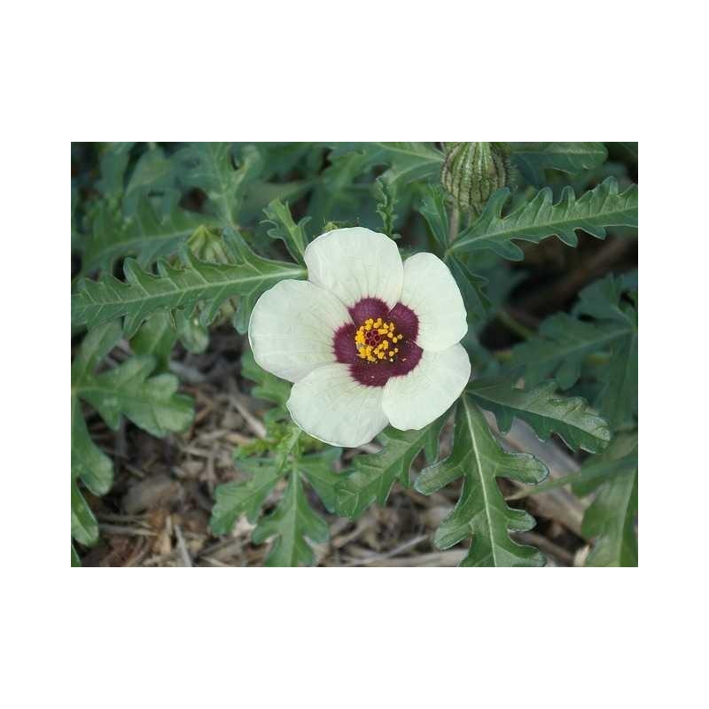 Hibiscus café crème plant