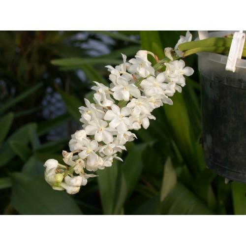 Rhynchostylis plant