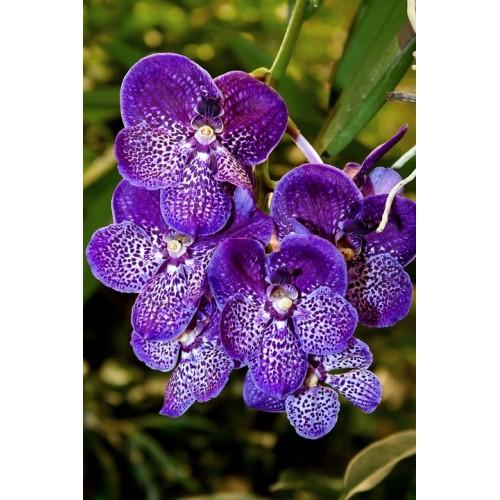 Vanda plant