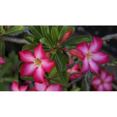 Rose du désert simple plant