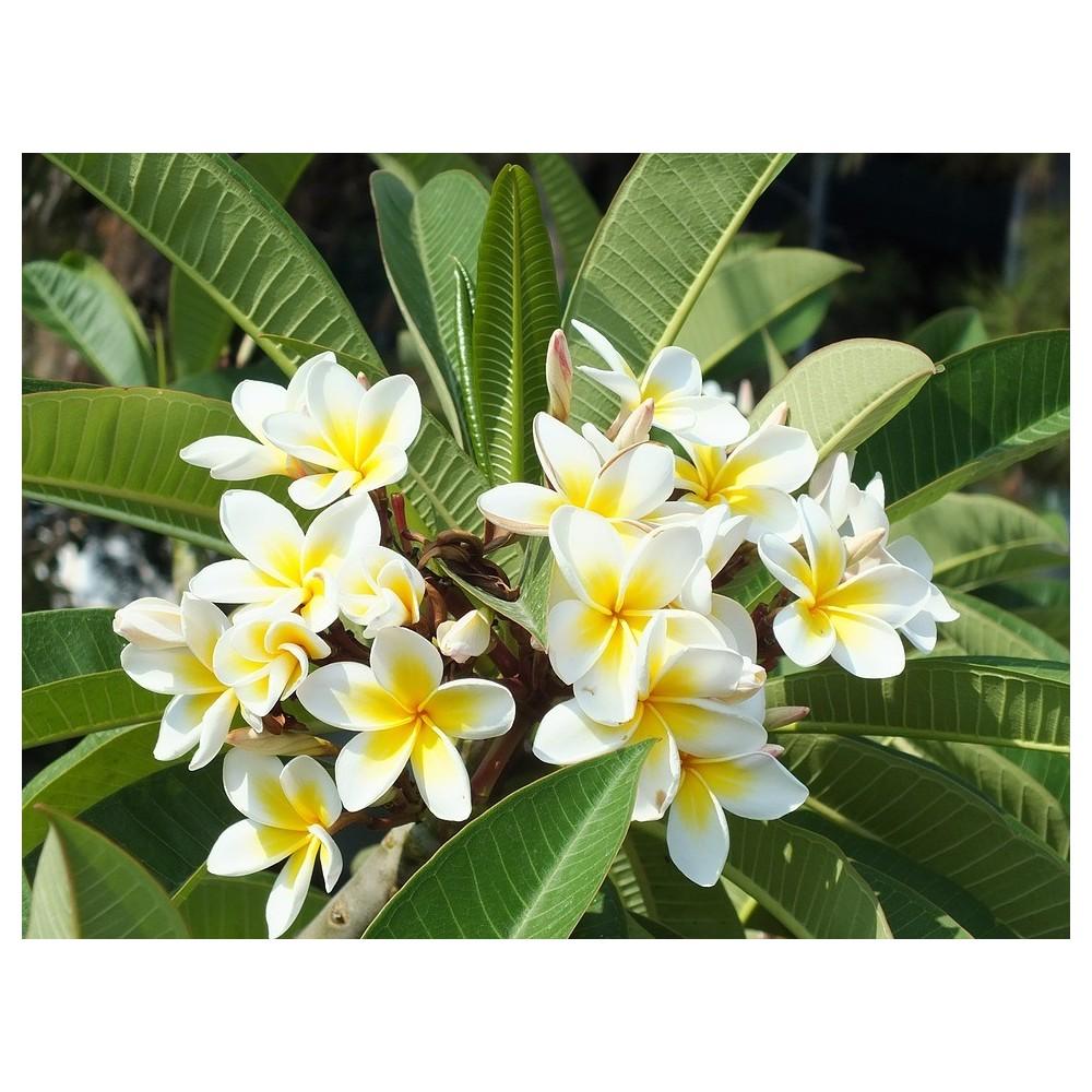 Frangipanier plant