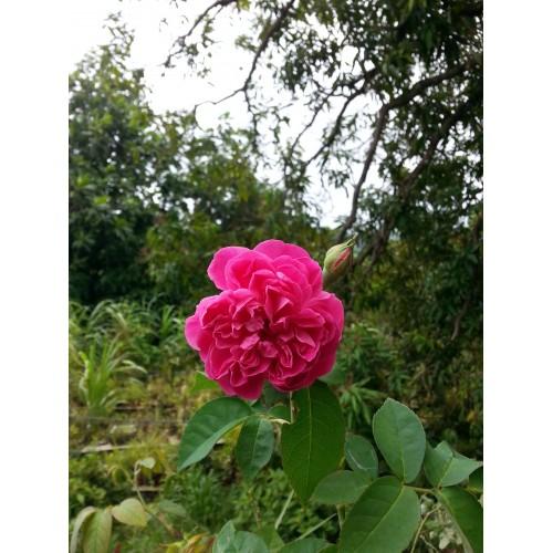 Rosier plant
