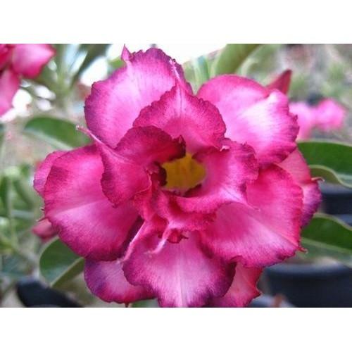 Rose du désert triple plant