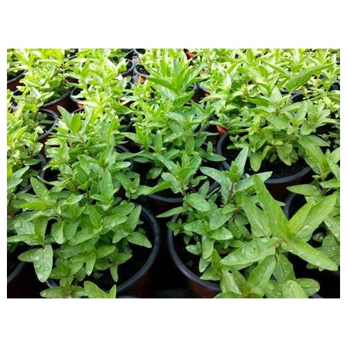 Menthe marocaine plant
