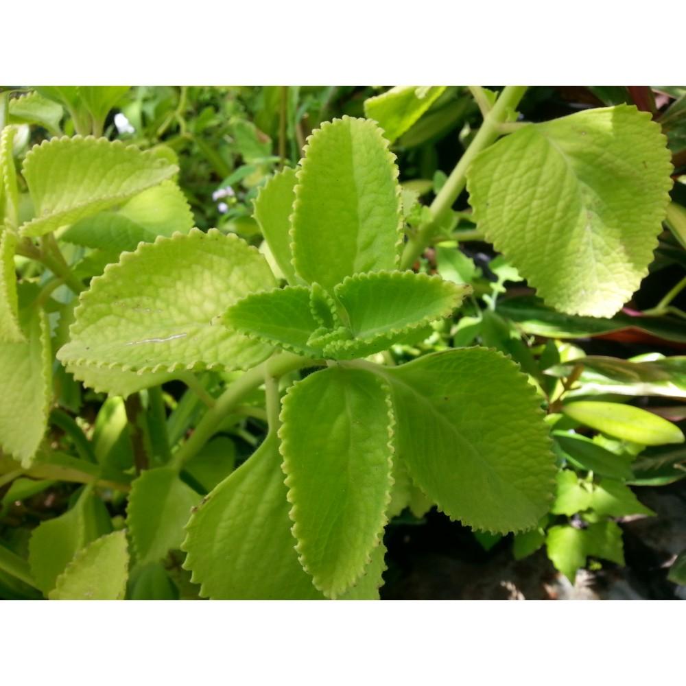 Gros thym plant