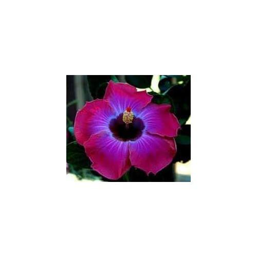 Hibiscus violet simple