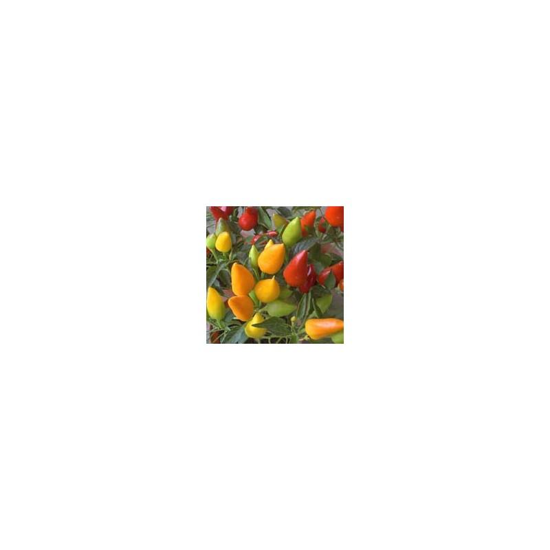 Piment décoratif plant