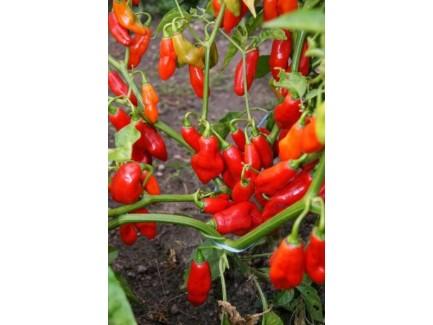 Piment végétarien plant