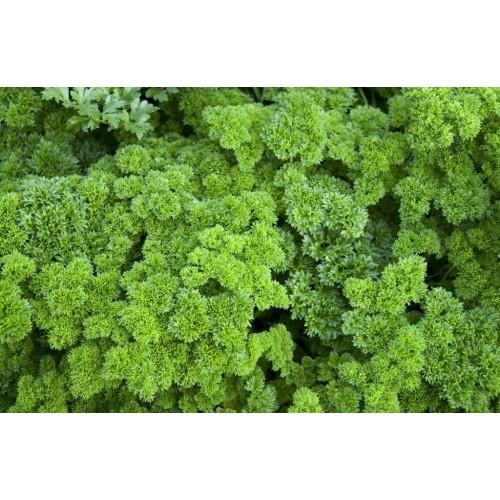 Persil frisé plant
