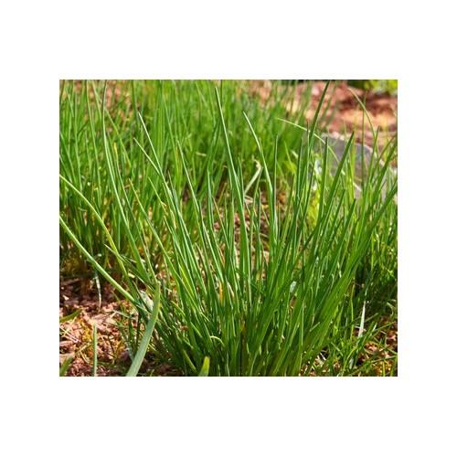 Ciboulette plant