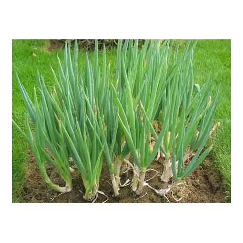 Ciboule plant