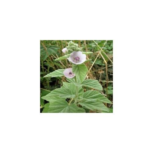 Guimauve plant