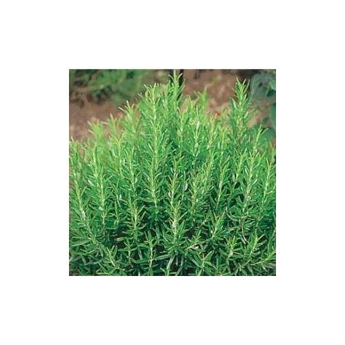 Romarin plant