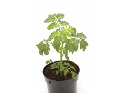 Tomate normale plant